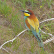 Stock Photo: European bee-eater (Merops Apiaster)