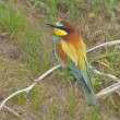 European bee-eater (Merops Apiaster) — Stock Photo