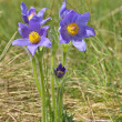Stock Photo: Mountain Pasque flower (Pulsatillmontana)