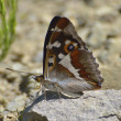 Aglais Iris (purple Emperor) Butterfly — Stock Photo