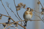 European Goldfinch on the burdock - carduelis carduelis — Stock Photo