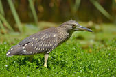 Juvenile of Black crowned night heron portrait (Nycticorax nycticorax) — Stock Photo