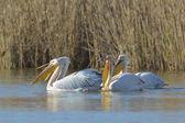 Pelicans In natural habitat (pelecanus onocrotalus) — Stock Photo