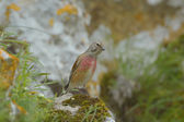 Linnet male (Carduelis cannabina) — Stock Photo
