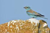 European Roller (coracias garrulus) — Stock Photo