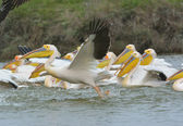 Pelicans in natural habitat (pelecanus onocrotalus) — Stock Photo