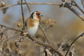 European Goldfinch on the burdock - carduelis carduelis — Zdjęcie stockowe