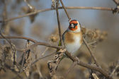 European Goldfinch on the burdock - carduelis carduelis — Stock fotografie