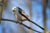 Long tailed tit (aegithalos caudatus) — Stock Photo