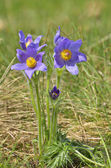 Mountain Pasque flower (Pulsatilla montana) — Stock Photo