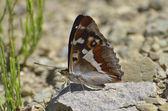 Aglais Iris (purple Emperor) Butterfly — Stock Photo