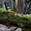 A tree stump in the forest — Stock Photo #32818433