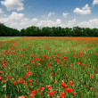 A poppy field in bright sunny day. Krasnodar, Russia — Stock Photo #32819225