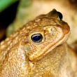 Large tropical toad close-up — Stock Photo