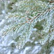 Pine tree covered with frost close-up — Stock Photo #32819703