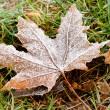 Frozen autumn leafs — Stock Photo