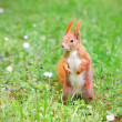 Squirrel standing on the grass with flowers — Stock Photo