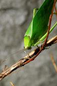 Exotic green grasshopper — Stock Photo