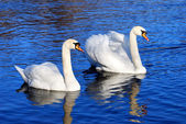 A couple of swans in the blue lake water — Stock Photo
