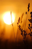 Grass close-up against setting sun — ストック写真