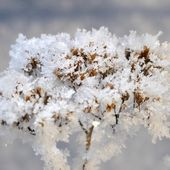 Hoar-frost on plant in winter — Stock Photo