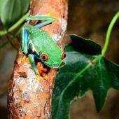 Red-eye tree frog Agalychnis callidryas in terrarium — Stock Photo