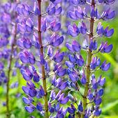 ルピナスの花クローズ アップ — ストック写真