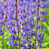 Lupine flowers close-up — 图库照片