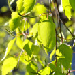 Birch tree leaves close-up in spring — Stock Photo