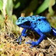 Colorful blue frog Dendrobates tinctorius — Stock Photo #32820373