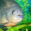Piranhfish in aquarium — Stock Photo #32820587