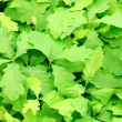 Stock Photo: Oak leafs background