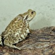 Europecommon toad — Stock Photo #32820877