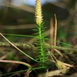 Stock Photo: Lycopodium moss