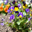 Heartsease flower (Viola tricolor) in spring — Stock Photo #32821629