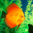 Stock Photo: Discus fish Symphysodon spp. in aquarium