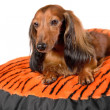 Dog resting on a colorful dog sofa, mattress — Stock Photo