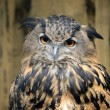 The great eagle-owl in woods — Stock Photo