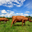 Two cows at the green field against blue sky — Stock Photo #32822687