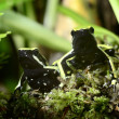 Two green frogs in terrarium — Stock Photo #32822951