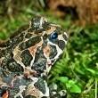 Stock Photo: Europefrog in terrarium