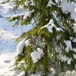 Pine tree covered with snow in winter forest — Stock Photo