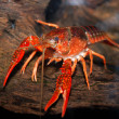 Louisiana swamp crayfish Procambarus clarkii — Stock Photo