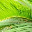 Palm leaves close-up — Stock Photo