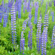 Lupine flowers close-up — Foto Stock
