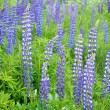 Foto de Stock  : Lupine flowers close-up