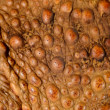 Skin close-up of the cane toad (giant marine toad) Bufo marinus — Stock Photo