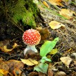 Agaric mushroom. Toadstool in forest — Stock Photo