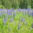 Foto Stock: Lupine flowers close-up