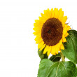Sunflower isolated on white with copyspace — Stock Photo